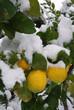 A lemon tree flooded by snow