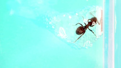 Ant eats edible gel from inside,in glass tube at ant farm