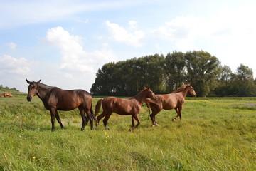 Три лошади на лугу.Сетябрь.Беларусь.