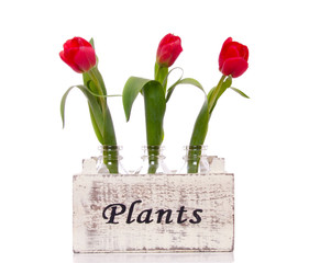 three red tulips in  little glass vases in a plant box isolated