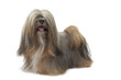 lhassa apso very proud