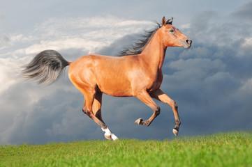free bay arabian colt