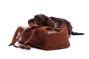 schlafender Hund Dackel auf Tierarzt Koffer