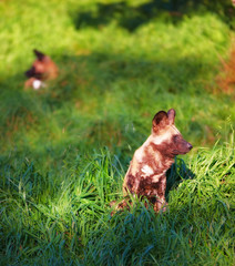 A photo of The African wild dog