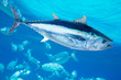 Bluefin tuna Thunnus thynnus saltwater fish