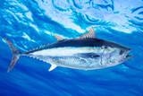 Bluefin tuna Thunnus thynnus saltwater fish poster