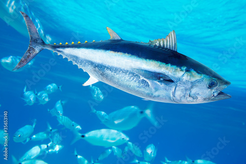 Bluefin tuna Thunnus thynnus saltwater fish - 35653140