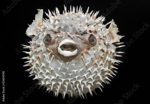 Long-spine porcupinefish - Diodon holocanthus