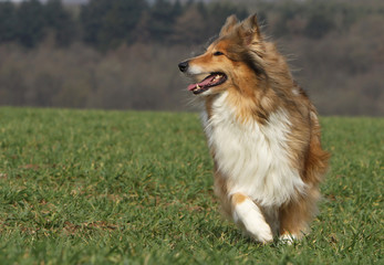 collie running