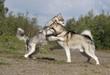 combat de deux alaskan malamute - hiérarchie