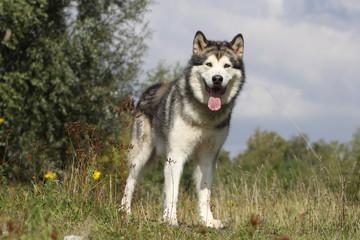 chien nordique debout de face