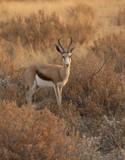 Fototapeta afryka - zwierzę - Dziki Ssak