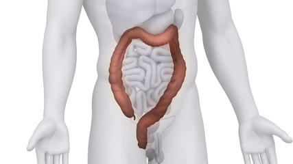 Male COLON medical scan anatomy in white loop