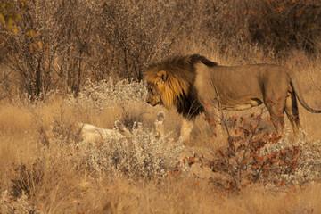Corteggiamento tra leoni