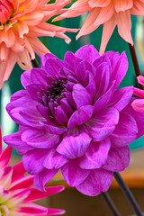 Magenta chrysanthemum flower head