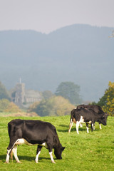 Cattle grazing in British countryside