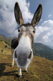 Fototapete Spassig - Ass - Nutztiere