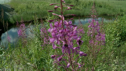 meadow flower ( Epilobium ) & river