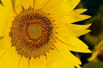 fiore giallo in primo piano