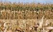 maïs fraîchement récolté