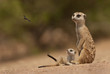 Suricate mother and pup watching a wasp flying past