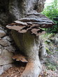 large tree fungus