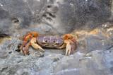 Maya Bay Krabbe