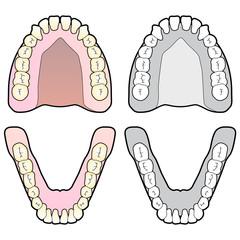 Human Teeth Chart