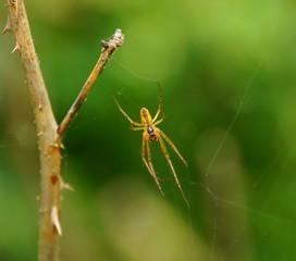 spinnengetier #2