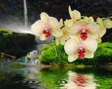 Fototapety Orchideeauf Stein mit Wassertropfen