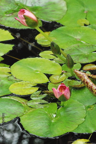 Green Lily pads in a pond with pink Lily buds