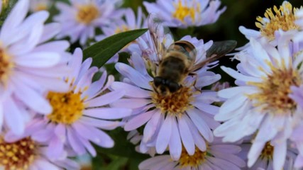 Bee on aster collecting honey