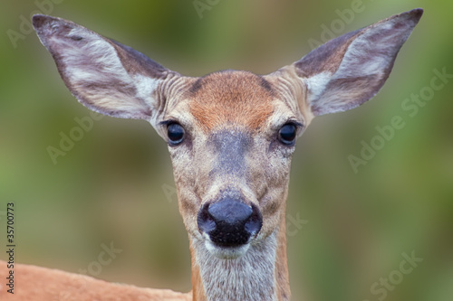 White-tailed Deer Close-up