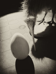 Kiwi bird, egg in bw