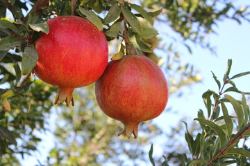 Beautiful red pomegranates on the tree, in a field