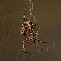spinnengetier #9