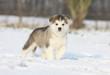 beautiful young alaskan malamute on the snow