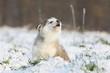 chiot alaskan malamute hurlant à la mort