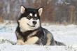 alaskan malamute allongé dans la neige