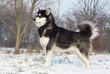 alaskan malamute debout dans la neige