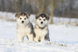 two puppies of alaskan malamute in the snow