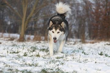 alaskan malamute marchant dans la neige