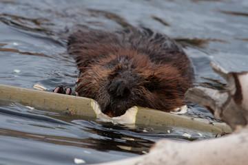 Wild beavers