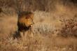 Leone africano di profilo