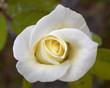 wonderful pale white rose bud closeup