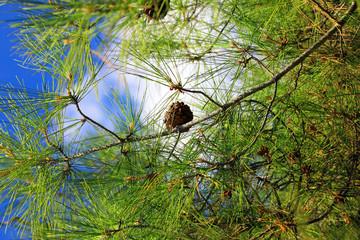 Pine branch with cones. Focus on cones.