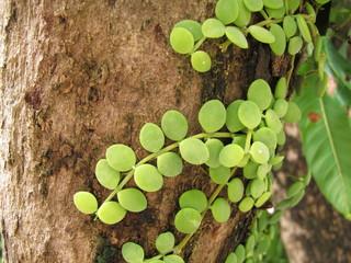 Dischidia nummularia climb on tree