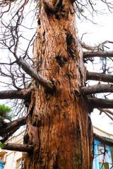 Alone old tree of Pine. Crimea, Ukraine