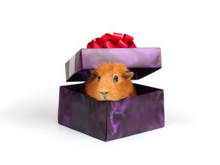Guinea pig in box