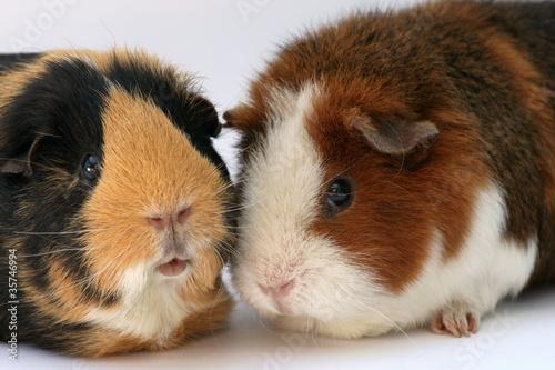 Zwei Meerschweinchen stecken die Köpfe zusammen
